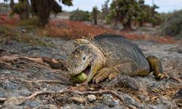 The land iguana eats a cactus. The Galapagos Islands. Pacific Ocean. Ecuador. Royalty Free Stock Photo