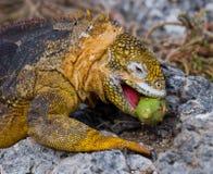 The land iguana eats a cactus. The Galapagos Islands. Pacific Ocean. Ecuador. Stock Photos