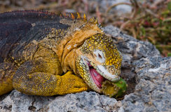 The land iguana eats a cactus. The Galapagos Islands. Pacific Ocean. Ecuador. Royalty Free Stock Images