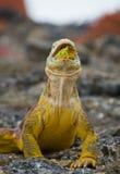 The land iguana eats a cactus. The Galapagos Islands. Pacific Ocean. Ecuador. stock photography