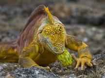 The land iguana eats a cactus. The Galapagos Islands. Pacific Ocean. Ecuador. Royalty Free Stock Photography