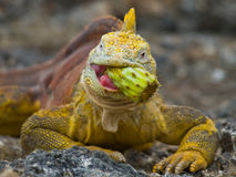 The land iguana eats a cactus. The Galapagos Islands. Pacific Ocean. Ecuador.