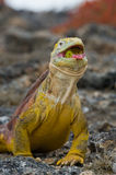 The land iguana eats a cactus. The Galapagos Islands. Pacific Ocean. Ecuador. An excellent illustration stock images