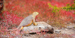 Land iguana Royalty Free Stock Photos