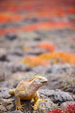Land iguana Stock Images