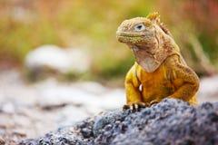 Land iguana. Endemic to the Galapagos islands, Ecuador Stock Photography