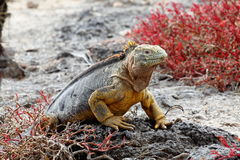 Land iguana Galapagos Stock Images