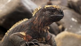 Land Iguana in Galapagos Island. Look royalty free stock photography
