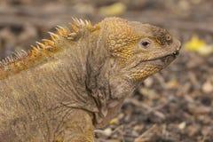 Land Iguana on the Galapagos Island Royalty Free Stock Photo