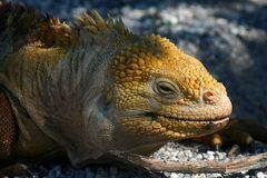 Land iguana, Galapagos Islands Royalty Free Stock Photos