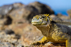Land Iguana in the Galapagos Islands. A land iguana basks in the sun in the Galapagos Islands royalty free stock photography