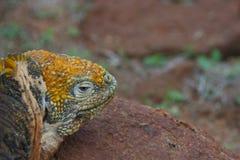 Land Iguana in Galapagos Islands Royalty Free Stock Photo