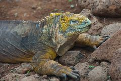 Land Iguana in Galapagos Islands Stock Image