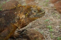 Land Iguana in Galapagos Islands Stock Photos