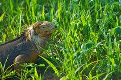 Land Iguana in Galapagos Islands Royalty Free Stock Photos