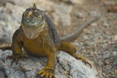 Land Iguana in Galapagos Islands Stock Photography