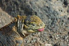Land Iguana in Galapagos Islands Royalty Free Stock Image