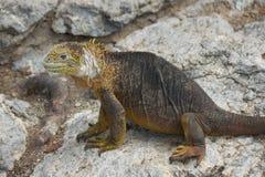 Land Iguana in Galapagos Islands Stock Images