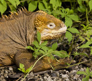 Land Iguana - Galapagos Islands - Ecuador. Land Iguana (Conolophus subcristatus) on Santiago Island in the Galapagos Islands - Ecuador stock photos