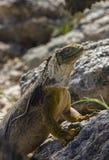 Land Iguana - Galapagos Islands - Ecuador. Land Iguana Conolophus subcristatus on Santiago Island in the Galapagos Islands - Ecuador royalty free stock photos
