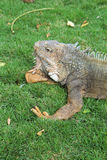 Land iguana in Guayaquil, Ecuador vertical Royalty Free Stock Image