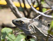 Land iguana (Iguana iguana) Stock Photography