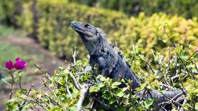 Land iguana (Iguana iguana) Royalty Free Stock Photos