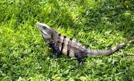 Land iguana (Iguana iguana) lies on a green grass Royalty Free Stock Photos