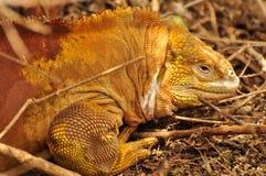 Land Iguana from Galapagos royalty free stock photo