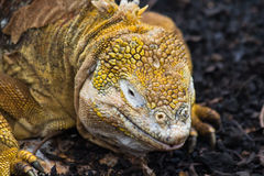 Land Iguana. A land iguana (latin Conolophus subcristatus stock image