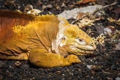 Land iguana lying on black volcanic rocks Stock Photo