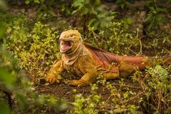 Land iguana with open mouth among bushes Stock Image