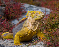 The land iguana sitting on the rocks. The Galapagos Islands. Pacific Ocean. Ecuador. An excellent illustration stock photo