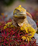 The land iguana sitting on the rocks. The Galapagos Islands. Pacific Ocean. Ecuador. An excellent illustration stock photography