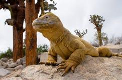 The land iguana sitting on the rocks. The Galapagos Islands. Pacific Ocean. Ecuador. royalty free stock photos