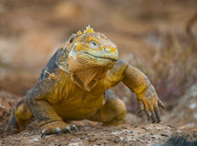 The land iguana sitting on the rocks. The Galapagos Islands. Pacific Ocean. Ecuador. An excellent illustration stock image