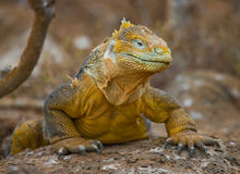 The land iguana sitting on the rocks. The Galapagos Islands. Pacific Ocean. Ecuador. Royalty Free Stock Photo