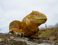 The land iguana sitting on the rocks. The Galapagos Islands. Pacific Ocean. Ecuador. Stock Image