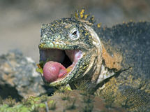 Land iguana, South Plazas Island, Galapagos Islands. The endemic Galapagos land iguana feeds on Opuntia or prickly pear cactus  fruit and pads. Despite the Stock Image