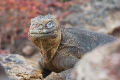 Land Iguana Stare. A land iguana staring at the photographer Royalty Free Stock Photos