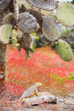 Land iguana under opuntia cactus Stock Photos
