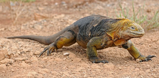 Land iguana is walking. Land galapagos iguana is walking Royalty Free Stock Photo