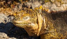 Land Iguanas in Galapagos Island. Yellow royalty free stock image