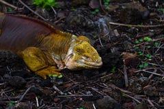 Land Iguanas royalty free stock image