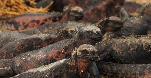 Land Iguanas sunbathing in Galapagos Island. Land Iguanas sunbathing in Galapagos stock photography