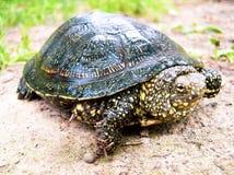 Land Karakum turtle on the ground stock photo