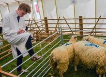 Land-lebens- Mann, der Schaf-Qualität beurteilt Stockfotografie