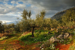 Land of Messinia. Image shows an olive tree filed in Messinia, southern Greece, after a rain storm Stock Photos