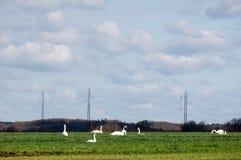 Land met het weiden van zwanen die bij hun trek rusten royalty-vrije stock afbeelding