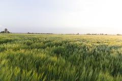 Land met tarwe wordt geplant die stock afbeelding
